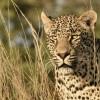 Portrait of a male Leopard…