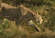 Leopard observing a prey!