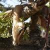 Dead impala kept in the tree