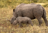 White Rhino f. with baby