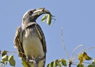 Grey Hornbill-praying mantis