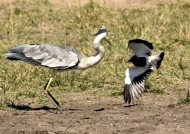 to face a Blacksmith Lapwing