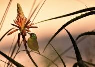 Collared Sunbird-aloe flower