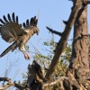 Dark Chanting Goshawk – juv.