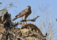 …spotting a mongoose