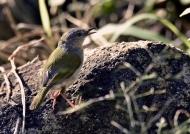Green-backed Camaroptera