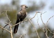 Grey Go-away Bird