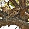 Leopard – f. suddenly awake.