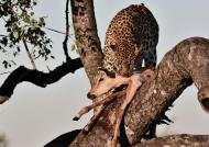 Leopard – f.