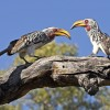 Yellow-billed Hornbills