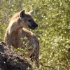 Spotted Hyena on the alert.