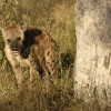 Spotted Hyena which salivates