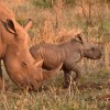 White Rhinos-2nd trip