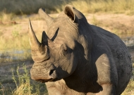 White Rhino – male