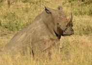 White Rhino taking a break