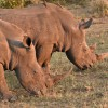 White Rhinos – young males