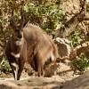 Bushbuck – male
