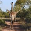 Giraffes show!