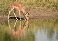 Impala – male