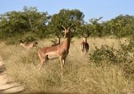Impalas – all males