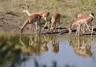 Group of Impala females