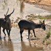 Waterbucks – male & female