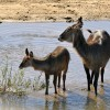 Waterbuck female with young
