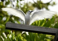 Another Fairy Tern