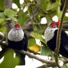 Blue Pigeon couple