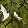 Fairy Tern love story