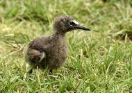 Brown Noddy – chick