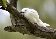 Fairy Tern – juvenile sleeping