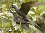 Brown/Lesser Noddy