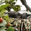 Lesser Noddy – chick