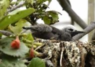 Lesser Noddy – chick