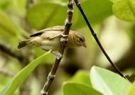 Madagascar Fody – female