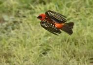 Very quick bird in flight !