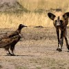 Hwange N.P. Hooded Vulture…