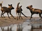 Wild Dogs – (2nd trip)