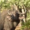 Cape Buffalo –  female.