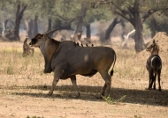 Eland with Waterbuck