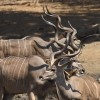 Greater Kudu Horns