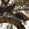 Ground Hornbills