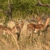 Impalas hiding in the bush