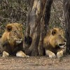 Male Lions in conspiracy