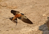 Red-chested Swallow landing