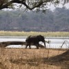 Elephant on the Zambezi bank