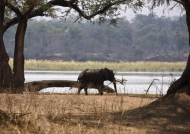 Elephant on the Zambezi bank