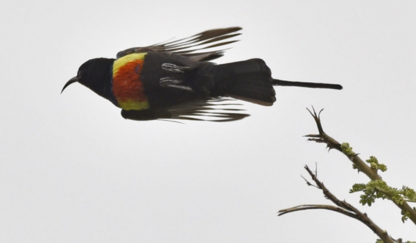 Bl sunbird-melanogastra race