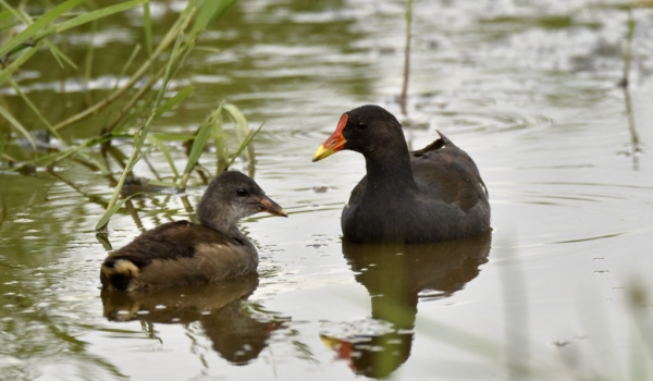Common Moorhen and chick